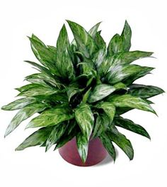 Chinese Evergreen - house plants that clean the air.  Prefer filtered light and humidity - great choice for bathroom.  Like occasional misting and moist soil but let it almost dry out between waterings.