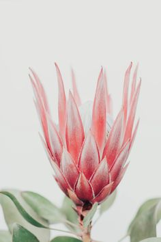 King Protea flower Hand & Bath Towel by Ingrid Beddoes photography - Hand Towel King Protea flower H Protea Art, Protea Flower, Flower Frame, Flower Art, Flower Prints, Fleur Protea, Tropical Flowers, Pink Flowers, King Protea