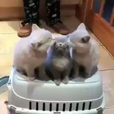 Gray kittens Source by videos wallpaper cat cat memes cat videos cat memes cat quotes cats cats pictures cats videos Cute Cats And Kittens, I Love Cats, Crazy Cats, Kittens Cutest, Cute Funny Animals, Cute Baby Animals, Animals And Pets, Funny Cats, Happy Animals