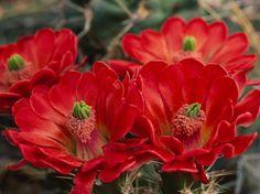 Rajasthan's flower
