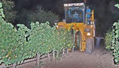 SE ADELANTA UN MES Comienza la vendimia en la D.O. Rueda, con un viñedo en perfecto estado sanitario RUEDA   MIÉRCOLES 27 DE AGOSTO DE 2014 ...