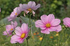 Cosmos siges at være en af de mest taknemmelige sommerblomster at dyrke - det må jeg prøve