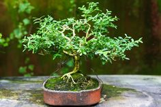 bonsai Bonsai Styles, Herbs, Plant, Herb, Medicinal Plants