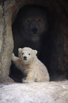 Post with 2075 votes and 104321 views. Tagged with aww, bear, polar bear; A Polar Bear and her Cub