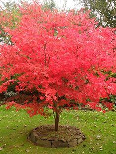 Acer palmatum Osakazuki (Osakasuk Sunset Japanese Maple)