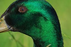 Green, Green, & More Green Duck (Happy St. Patrick's Day 2010 ...
