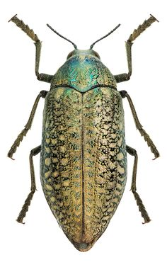 Photos - BUGS & INSECTS - Julodis euphratica