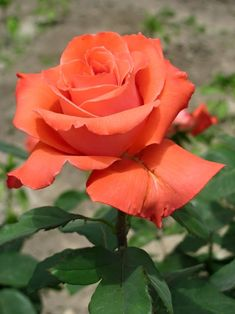 hybrid tea roses annual or perennial Beautiful Rose Flowers, Exotic Flowers, Amazing Flowers, Colorful Flowers, Orange Roses, White Roses, Pink Roses, Rose Reference, Rose Tutorial