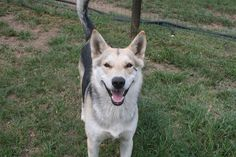 687 _ Cody. 1,5 Year old husky cross GSD male with 2 brown eyes, stray from Kensington, was never claimed. jasper@huskyrescue.co.za