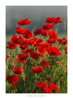 I will have a field of Poppies. Flowers Nature, Red Flowers, Beautiful Flowers, Red Poppies, Trees To Plant, Flower Art, Planting Flowers, Nature Photography, Bloom