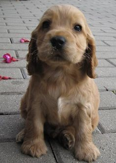 Someday I'm going to have an english cocker spaniel.