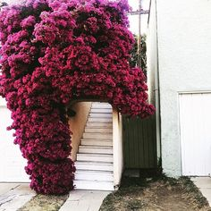 How would you feel if we turned this into a bougainvillea fan account? Bougainvillea, Beautiful Flowers, Beautiful Places, Image Nature, Fantasy Places, Garden Plants, Flower Power, Floral Arrangements, Planting Flowers