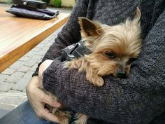 Awwww so sweet #yorkshireterrier
