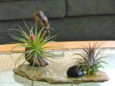 Air Plant Centerpiece with Grapewood on Recycled by TheLivingArt, $36.00