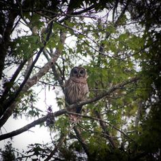 Barred Owl hanging out in the trees at FSM. http://www.floridaschoolofmassage.com/prospective-students/apply-now.php