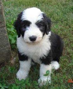 English Sheepdog pup