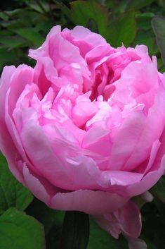 La pivoine, arbustive ou herbacée offre de merveilleuses fleurs au printemps. Découvrez tout ce qu'il faut savoir sur cette plante !