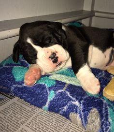 Cute boxer puppy flashy sealed brindle ❤️