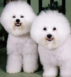 Bichon frise twins