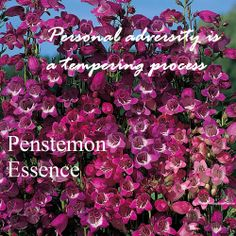 Penstemon supports us through the most trying of times, especially when the circumstances feel unfair or unjust . It helps us fight the good fight in spite of the challenges . The indications for taking penstemon essence are unfairness and undue burden.