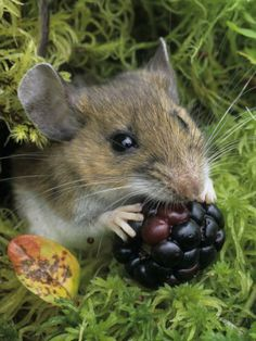 White-Footed Mouse, Peromyscus Leucopus, Eating a Berry, Ohio - photo by Gary Meszaros. Hamsters, Rodents, Animals And Pets, Baby Animals, Cute Animals, Beautiful Creatures, Animals Beautiful, Photo Animaliere, Pet Mice