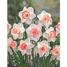 Garden State Bulb�12-Pack Pink Blend Daffodils
