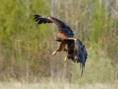 Sold today! Golden eagle (Aquila chrysaetos)   Stock Billede   Colourbox on Colourbox