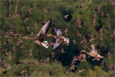Erhöhtes Flugaufkommen Foto & Bild | Natur, Enten, Gänse, Schwäne, Wild lebende Vögel Bilder auf fotocommunity