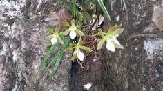 Orquídea em paredão de pedra - cerrado Goiano