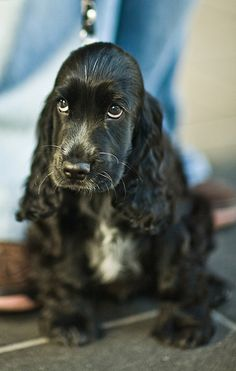 English Cocker Spaniel puppy .