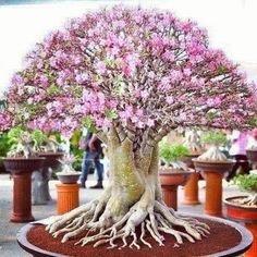 Magical Bonsai in pink!!!/NZI
