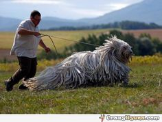 A picture of man walking his Komondo. This is a traditional Hungarian guard dog that looks like an alien.                          IT'S A MOP WITH A LEASH!!