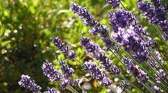 Silně aromatické levandule (Lavandula) jsou základním kamenem každého bylinkového záhonu.