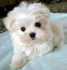 Bichon x Maltese puppy? Teacup Puppies, Cute Puppies, Cute Dogs, Dogs And Puppies, Doggies, Teacup Morkie, Teacup Maltese For Sale, Maltese Puppies For Sale, Morkie Puppies