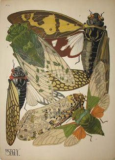 Cicadas Plate 2, Eugene Alain (E.A.) Seguy (1889-1985) from Insectes Editions Duchartre et Van Buggenhoudt, Paris: Mid 1920s Pochoir prints