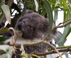 Love koalas and wildlife viewing?  Then, be sure to travel to Australia!  -- Image of baby koala nibbling gum tree leaf taken by Florence McGinn -- Enjoy travel tips on finding wildlife-rich locations and koala magic in Australia at  http://www.examiner.com/article/astounding-nature-casts-a-spell-of-koala-magic-australia