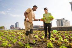 Kimmons and Lewicki harvest lettuce.