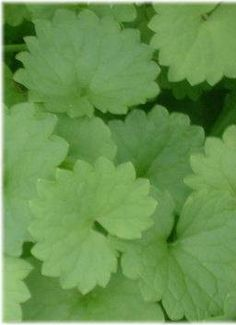 Creeping Charlie or Ground Ivy is a medicinal herb and deserves a place in the garden.
