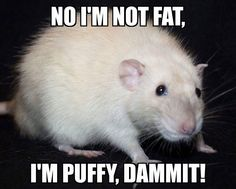 Rat Meme Cute Animal Memes, Cute Animal Pictures, Animal Quotes, Cute Funny Animals, Funny Rats, Cute Rats, Hamsters, Rodents, Animals And Pets