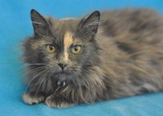 """Adopt Antionette @ Coon Rapids,MN Humane Society, Age 3, fully vetted, 11 lbs, medium hair beauty. """"Some of the activities I enjoy include: being brushed, petted, and held. I purr like crazy and am a great lap warmer!"""" ask about promotions - """"pets for seniors"""" & """"double the love"""" for adoption fee discounts."""