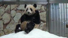 Snow Panda Boxing