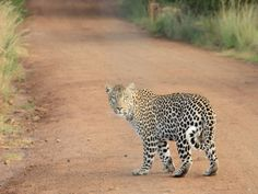 Leopard Wild Animal Hd