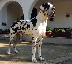 European Great Dane