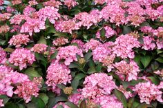 The Midnight Salsa HYDRANGEA will make the perfect addition to your spring and summer garden. Its one of a kind foliage and vibrant flowers will not only look better in your garden. They will also bloom again and again making your summer experience easy and enjoyable.