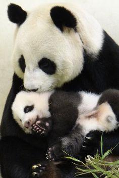 Giant Pandas - Yuan Yuan and her cub (nicknamed Yuanzai) at the Taipei Zoo in Taiwan