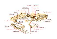 skeleton of a frog image