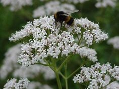 Valeriana officinalis aka garden heliotrope - Pink, white or lavender flowers are fragrant and borne in rounded clusters atop straight stems. 3-4 feet, zones 4-9. Mostly sun, can take some partial shade.
