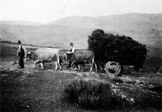 A Cortella, Becerreá. Dúas parellas de vacas arrastrando unha carga. Arquivo Ebeling nº 537.