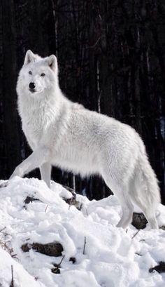 wolf arctic wolves animal artic animals snow cute spirit husky wild im