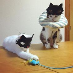 #八おこめズラ ❤︎❤︎ ハッチャン、お顔デカイせいか?猫マスクがズリズリズリズリ上に上がってくよw この写真の、おこちゃんの顔が(目元が)きゃわい〜❤︎❤︎ さっ風呂入ろっ♨︎ #八おこめ #ねこ部 #cat #ねこ #黒猫